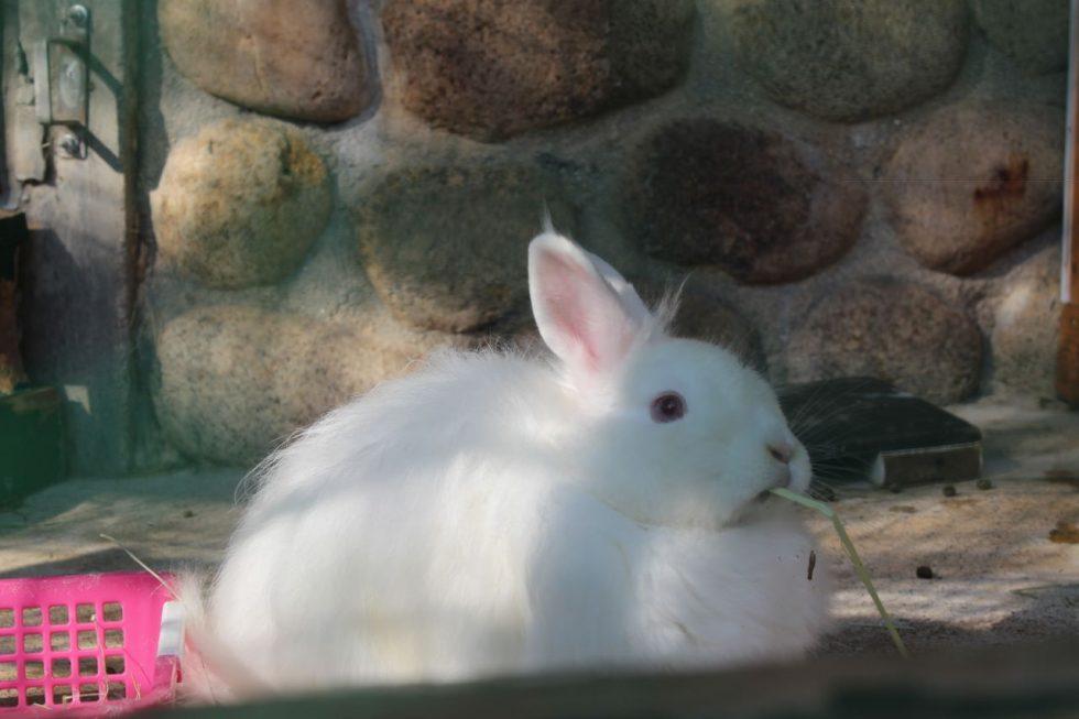 六甲山牧場のアンゴラウサギ