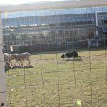 牧羊犬だいちのドッグショー