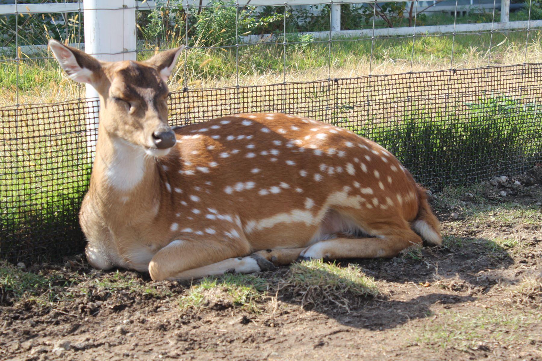 冷めた目で見る鹿