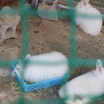 アンゴラウサギたち