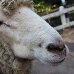 六甲山牧場の羊