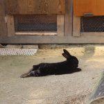 でれーんと寝そべる六甲山牧場のうさぎ