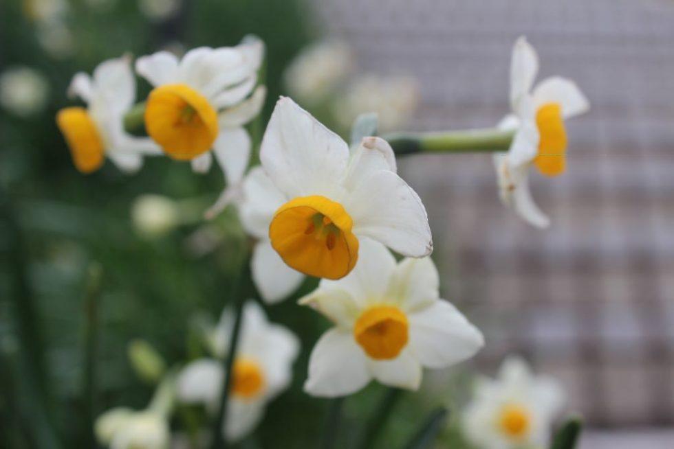 越前水仙(ニホンスイセン)の花