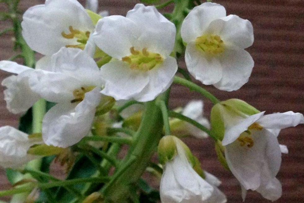 芥藍の花 アップ