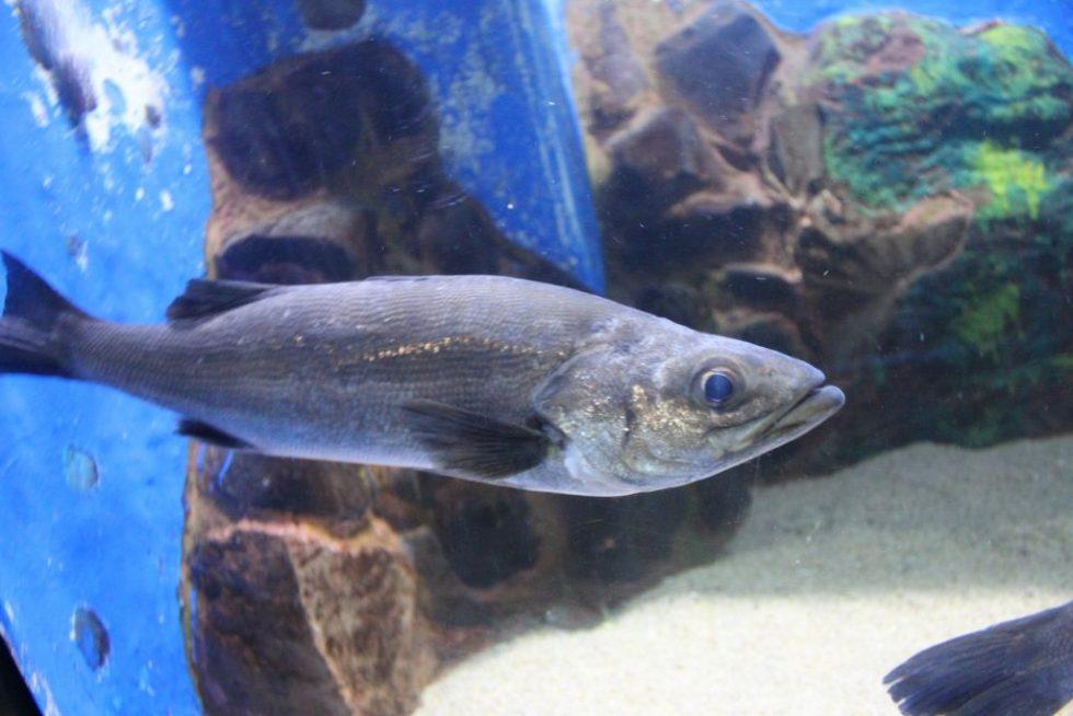 越前松島水族館おさかな館 魚