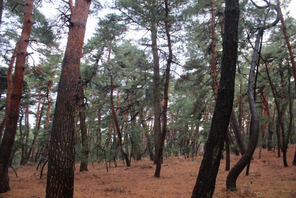 気比の松原 松林