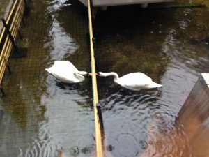 六角堂の白鳥たち