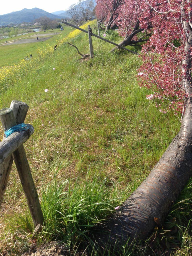 桂川 倒木した桜並木
