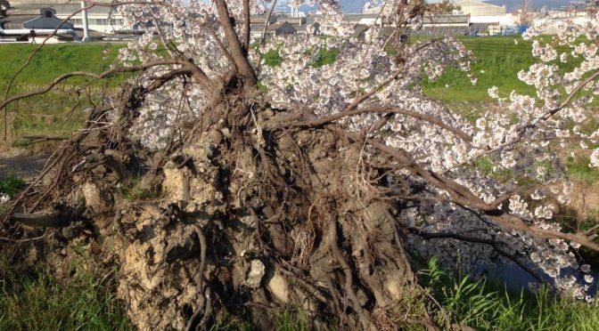 倒木しても満開になった「奇跡の桜」桂川