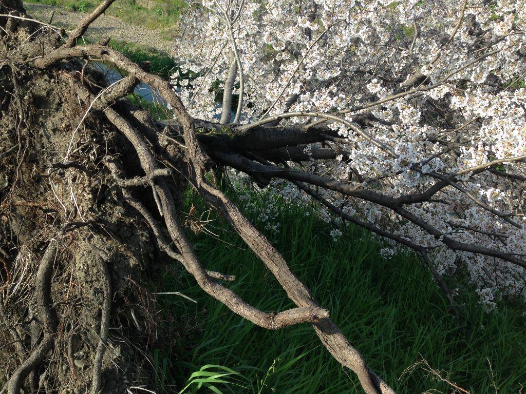 倒木しても満開になった「奇跡の桜」桂川2