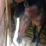 大山乗馬センター 厩舎内 お馬さんたち8