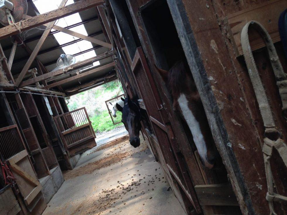 大山乗馬センター 厩舎内 お馬さんたち