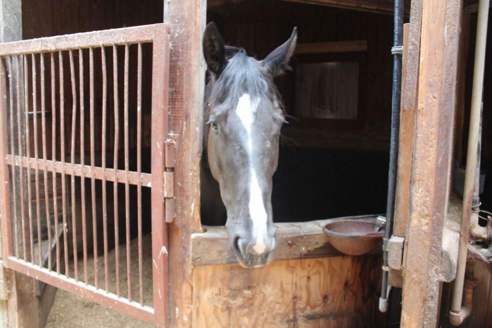 大山乗馬センター 厩舎内 お馬さんたち3