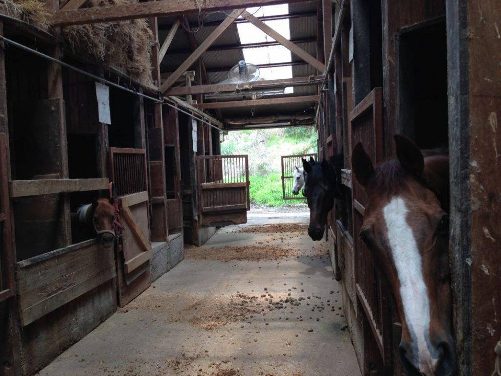 大山乗馬センター 厩舎内 お馬さんたち6