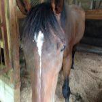 大山乗馬センター 厩舎内 お馬さんたち7