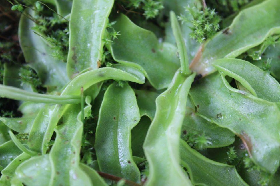 ムシトリスミレ(葉が細長い種)2