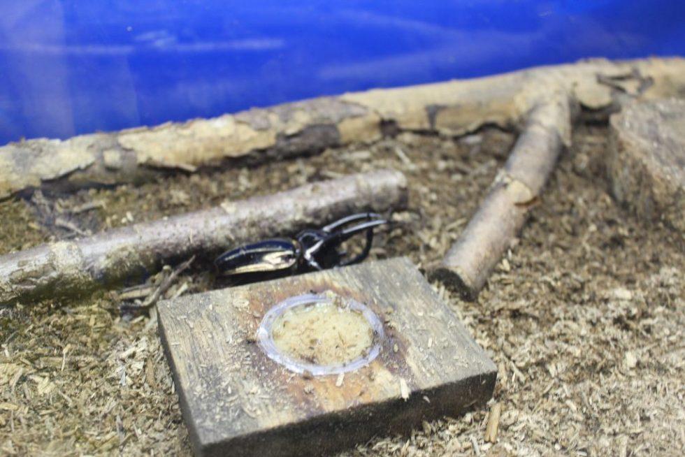 アトラスオオカブトムシ