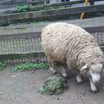 れん(羊)2