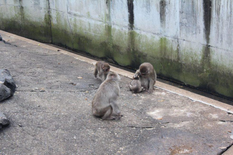草津熱帯圏サル山3