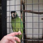 キエリヒメコンゴウインコのロニーと握手