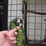 キエリヒメコンゴウインコのロニーと握手2
