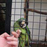キエリヒメコンゴウインコのロニーと握手3
