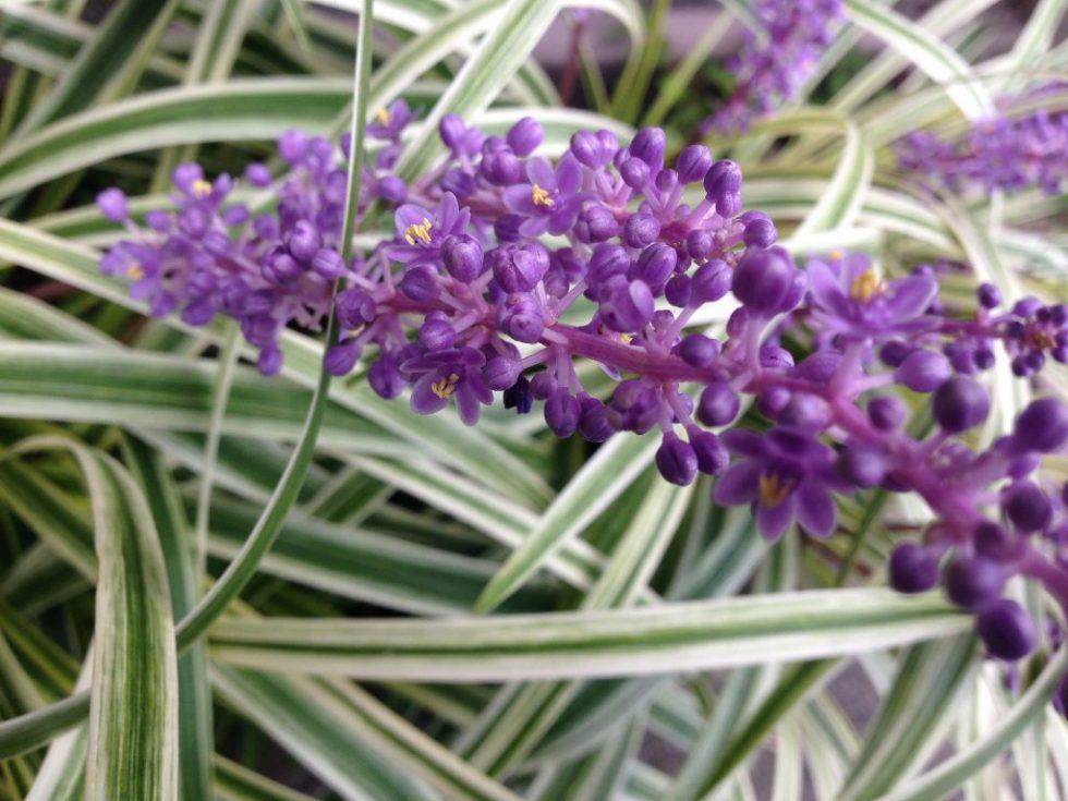 藪蘭(ヤブラン)の花