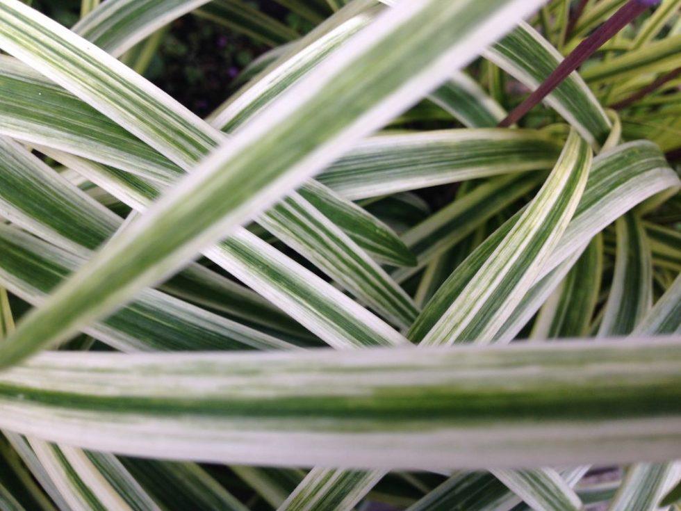 藪蘭(ヤブラン)の葉