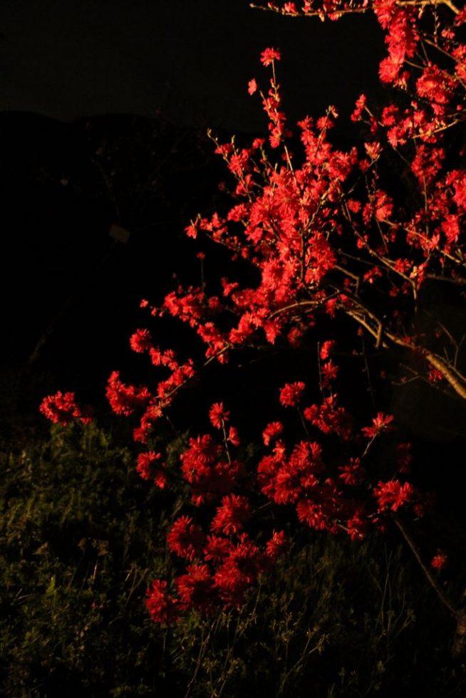 菊桃の木2