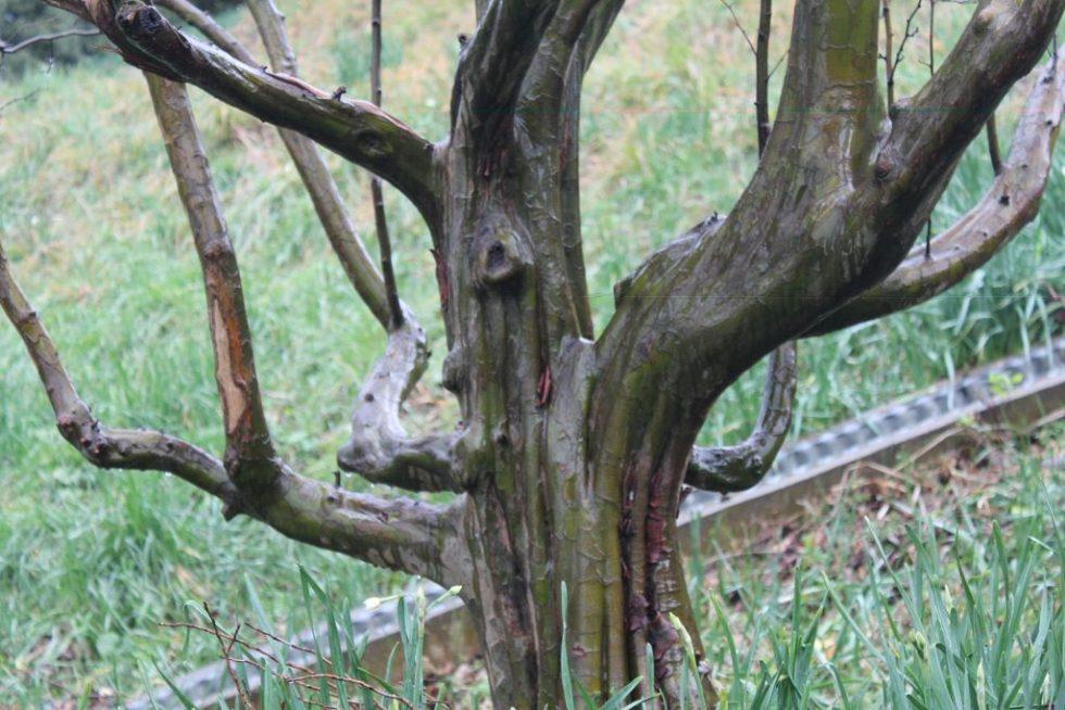 花梨の樹皮
