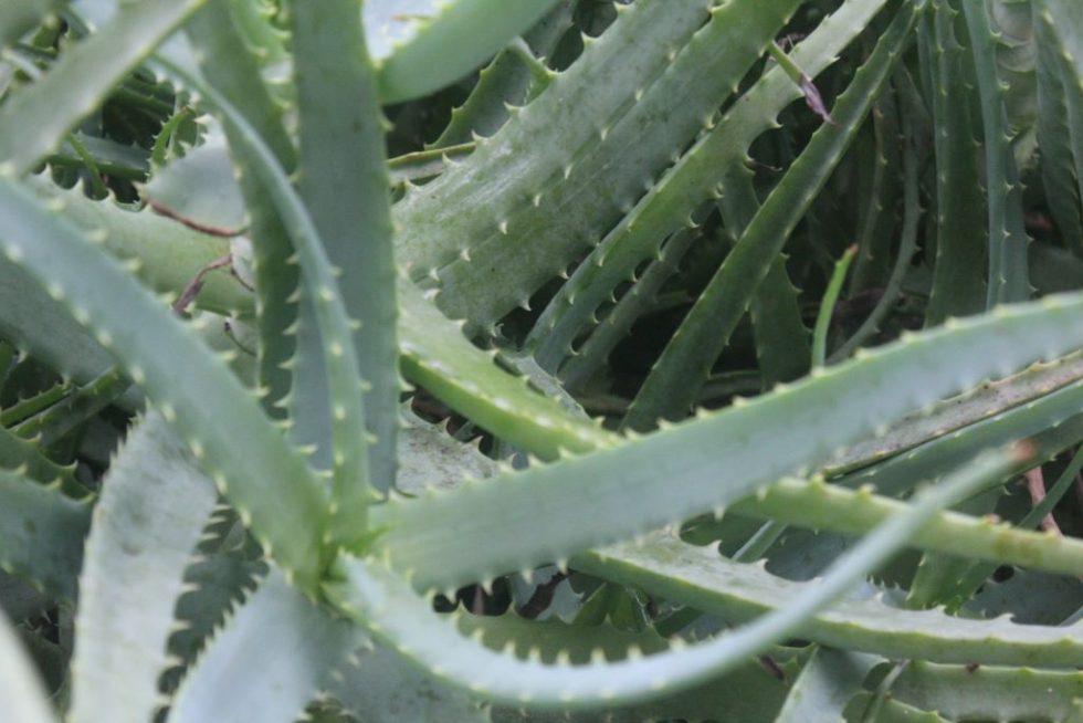 キダチアロエ 葉