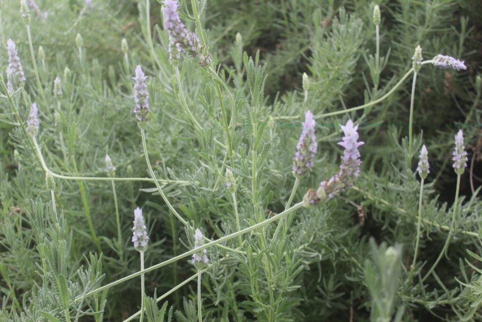 ラベンダー Lavender