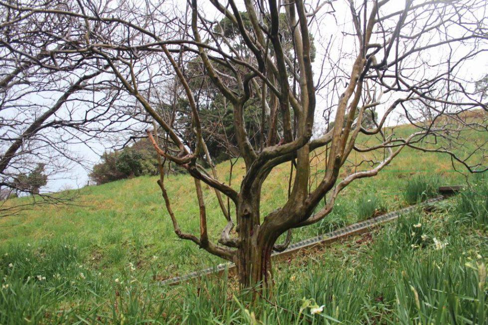 花梨の木 落葉後