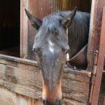 大山乗馬センター厩舎ガイド お馬さんたち3