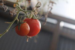 真冬に実るミニトマト