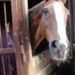 大山乗馬センター厩舎ガイド お馬さんたち5