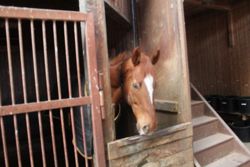大山乗馬センター厩舎ガイド お馬さんたち6
