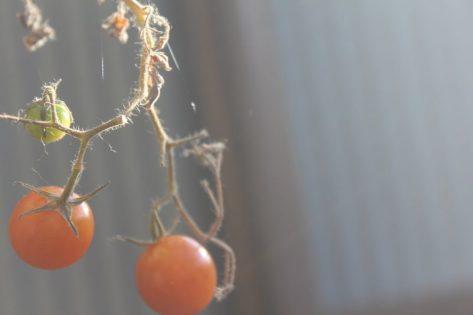 2月に実をつけるミニトマト
