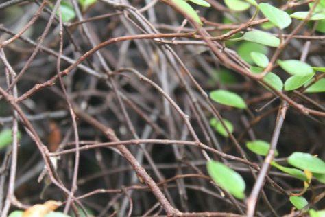 ワイヤープランツの茎(枝、つる)