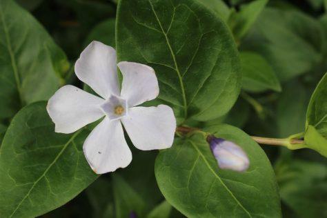 蔓日々草 ツルニチニチソウ 花 白色