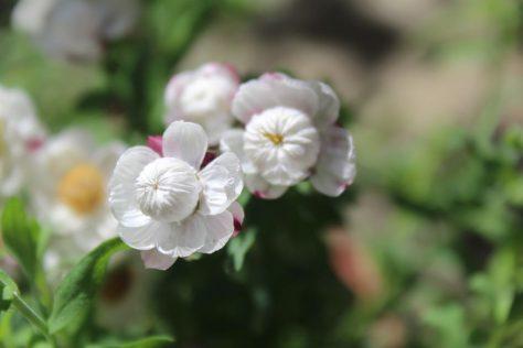 花簪(はなかんざし)ローダンセ アンテモイデスの開花