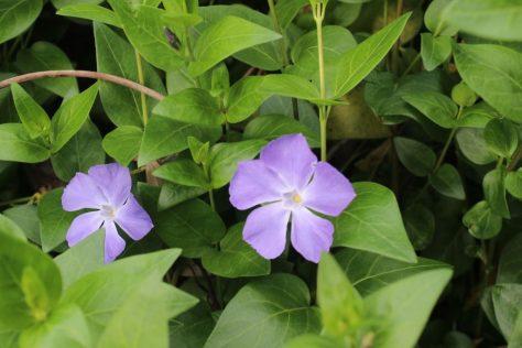 蔓日々草 ツルニチニチソウ 花2