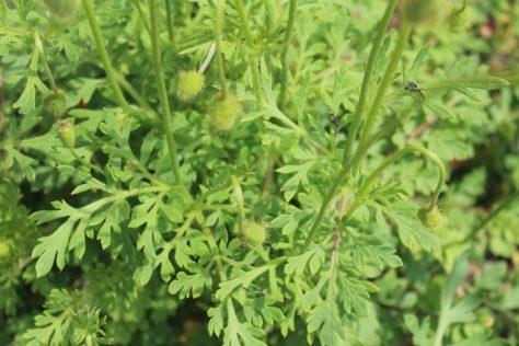 長実雛芥子 ナガミヒナゲシ 葉