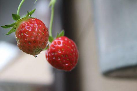 苺(いちご)の果実ができてきた