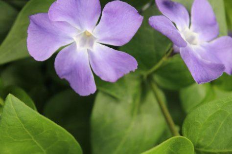 蔓日々草 ツルニチニチソウ 花4