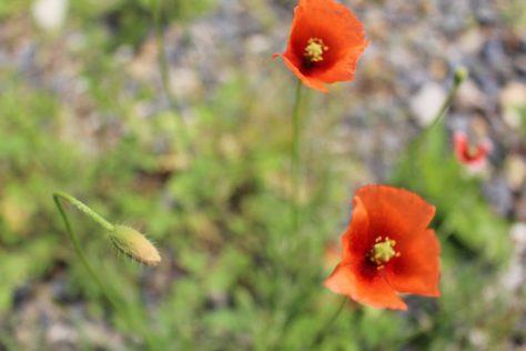 長実雛芥子 ナガミヒナゲシ 花