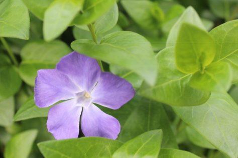 蔓日々草 ツルニチニチソウ 花