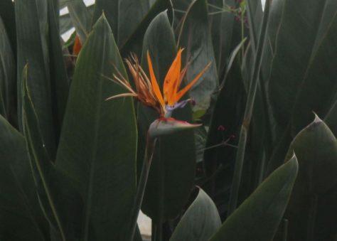 ストレチア・レギネ(極楽鳥花)の花