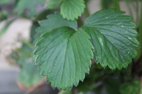 苺(いちご)の葉2