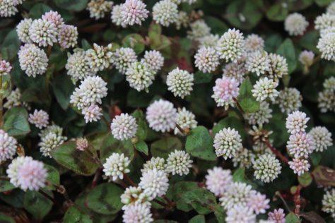 色が抜け白色になりつつある姫蔓蕎麦(ヒメツルソバ)の花